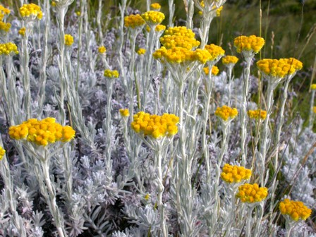 Image result for African Helichrysum species